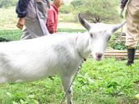 農業体験にヤギさん登場