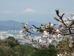 富士山・桜スポット:日本平「富嶽台」