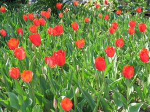 チューリップの春模様