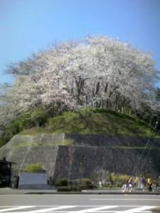 静岡市駿河区八幡山の桜