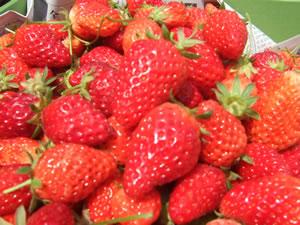 イチゴ狩りの苺
