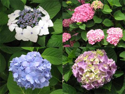 静岡市伝馬町公園が紫陽花(あじさい)満開