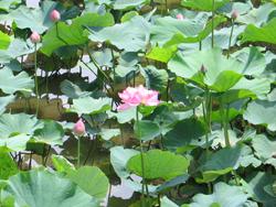 千框の蓮の花