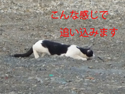 野生の本能・・・ネコの狩りの姿勢