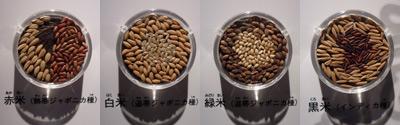 登呂博物館で米の品種を勉強する