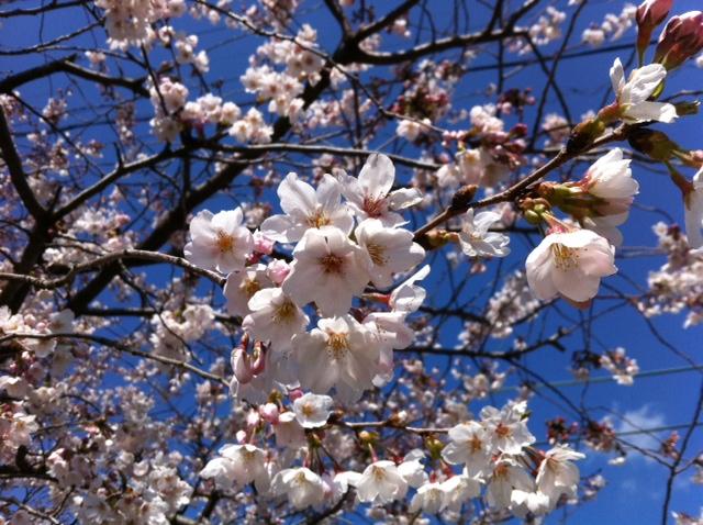 桜満開!せんがまちの棚田