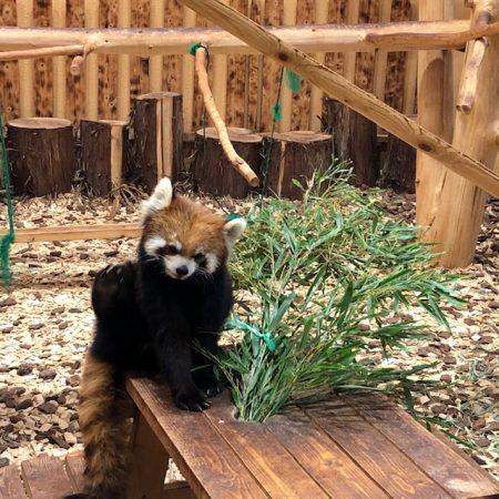 日本平伊動物園のレッサーパンダ