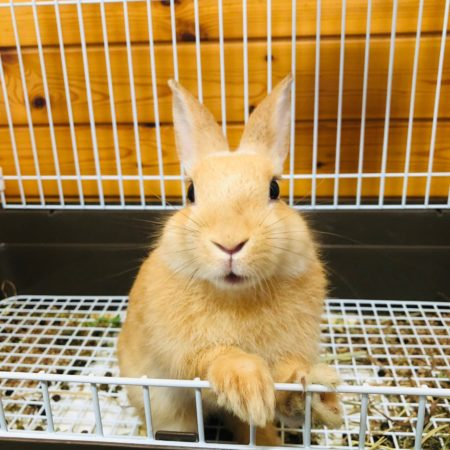 ミニウサギのハッピー